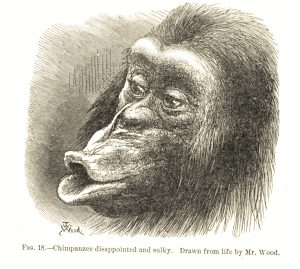 "International Darwin Day is Sunday, Feb. 12. This animated drawing of a ""chimpanzee disappointed and sulky"" by ""Mr. Wood"" is from Charles Darwin's ""The Expression of the Emotions in Man and Animals,"" Appleton and Company, 1897. Special Collections, Stony Brook University"